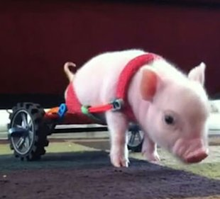 A piglet named Chris P. Bacon