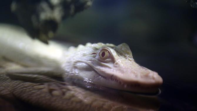 An 18-month old albino alligator is presented at the Tropical aquarium in Paris, Thursday Feb. 13. 2014. Two albino alligators arrived in their new home in Paris on Wednesday Feb. 12, after travelling thousands of miles from a fish farm in Florida. The aquarium's new lodgers are two of only twenty to thirty in the world, according to the director of the tropical aquarium Michel Hignette. (AP Photo/Remy de la Mauviniere)