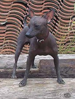 Xoloitzcuintli (photo via Wikimedia Commons)