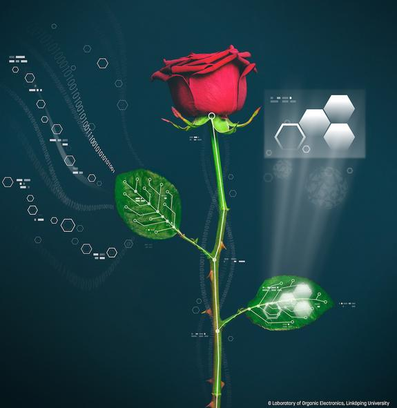 Cyborg Roses Wired with Self-Growing Circuits