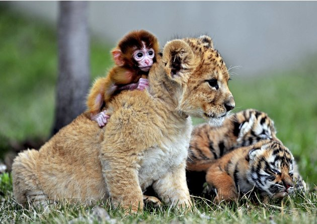 A baby monkey, a lion cub&nbsp;&hellip;