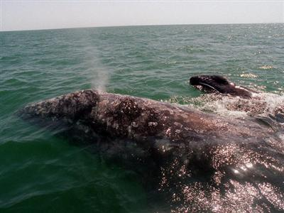 Endangered whales seen off Calif. coast