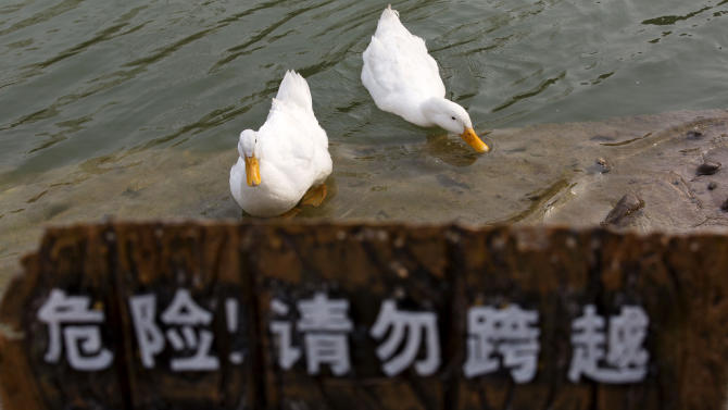 Ducks swim near a warning sign at an amusement park in Beijing, China, Wednesday, April 3, 2013. Scientists taking a first look at the genetics of the bird flu strain that recently killed two men in China said Wednesday the virus could be harder to track than its better-known cousin H5N1 because it might be able to spread silently among poultry without notice. The virus also appears to have mutated into a form that enables it to more easily infect animals such as pigs, meaning they could serve as hosts that spread the virus more widely among humans. (AP Photo/Alexander F. Yuan)