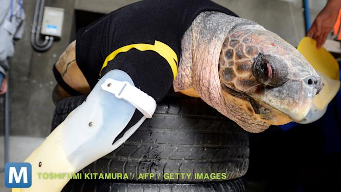 Sea Turtle Adapts to Life with Prosthetic Fins