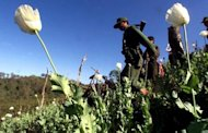 File photo shows a Myanmar soldier walking through a poppy field during an operation to destroy opium poppies. Opium cultivation in Southeast Asia has doubled over the last six years as growing demand for heroin in China and the rest of Asia lures more farmers to grow poppies, the UN said Wednesday