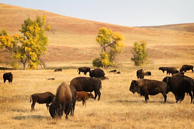 Buffalo recline on prairie land in Custer State Park on Sunday, Sept. 23, 2012, the day before nearly 1,300 buffalo are to be corralled by about 60 men and women on horseback at the 47th annual Buffalo Roundup in western South Dakota. More than 12,000 spectators were expected to descend on the area for the Monday herding. (AP Photo/Kristi Eaton)