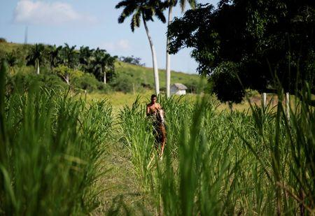 Cuban sugar harvest may fall due to El Nino-related weather
