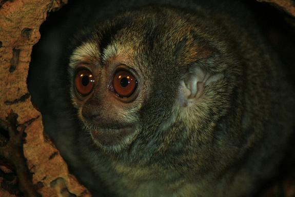 Monogamous Owl Monkeys Have More Babies