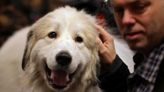Bob Zeiss of new City, N.Y. pets Maxwell Smart, a great pyrenees from LeRoy, N.Y. in the backstage area at the 136th annual Westminster Kennel Club dog show, Tuesday, Feb. 14, 2012, in New York. (AP Photo/Craig Ruttle)