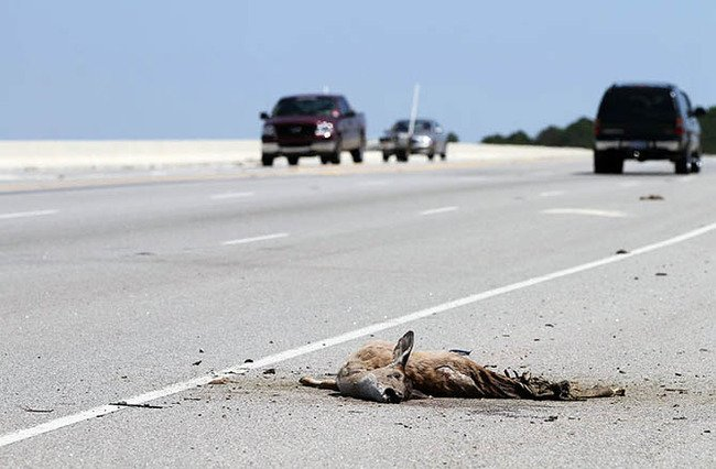 Roadkill_Deer 670.jpg