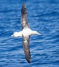 Un albatros hurleur en plein vol (Crdits : JJ Harrison - Wikipdia)