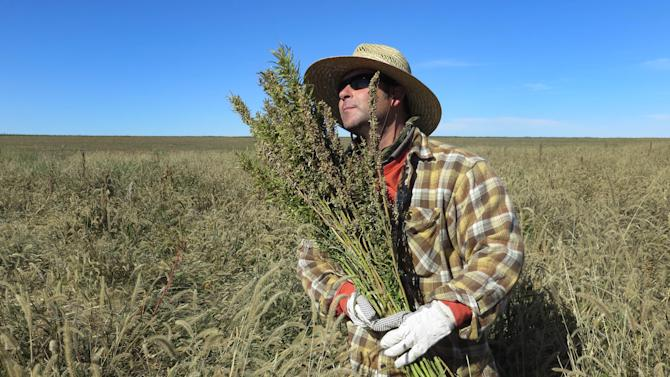 In this Oct. 5, 2013 file photo, hemp chef Derek Cross helps harvest hemp during the first known harvest of the plant in more than 60 years, in Springfield, Colo. The federal farm bill agreement reached Monday Jan. 27, 2014 reverses decades of prohibition for hemp cultivation. Instead of requiring approval from federal drug authorities to cultivate the plant, the 10 states that have authorized hemp would be allowed to grow it in pilot projects or at colleges and universities for research. (AP Photo/Kristen Wyatt, File)
