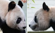 Hopes Fade For Panda Cub At Edinburgh Zoo
