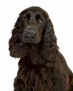File photo of Cocker Spaniel (Thinkstock)