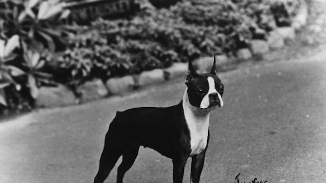 "This undated publicity photo provided courtesy of American Kennel Club shows a Boston terrier. In the 1910s, the Boston terrier takes over at No.1 and remains the only ""made in the U.S.A."" breed to reach the top spot. The dog is known as America's gentleman. (AP Photo/Courtesy American Kennel Club)"