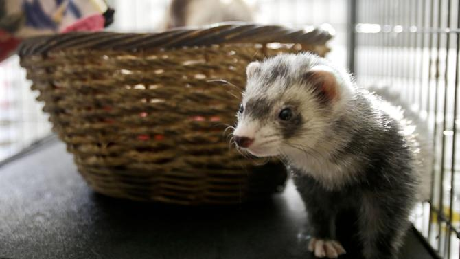 In this Wednesday, Dec. 19, 2012 photo, one of the ferret pets of Pat Wright hangs out in its well adorned cage, in La Mesa, Calif. Ferrets are illegal to own in California. Keeping a ferret as a pet takes more time, care and money than owning a dog or cat. The American Veterinary Medical Association in Schaumburg, Ill., which recently posted a YouTube video describing how to care for pet ferrets, noted that they need to be caged most of the time, require hours of exercise and emit a musky odor that many people find unpleasant. (AP Photo/Lenny Ignelzi)