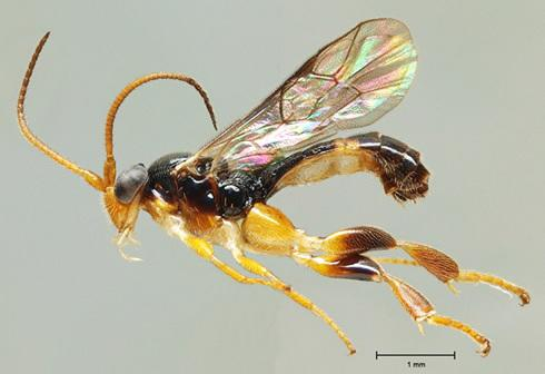 Wasps That Eat Maggots from Inside Out Discovered
