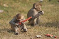 Photo illustration shows young Rhesus macaque monkeys. A farmer in southern Nepal mistook his son for a monkey trying to steal his crops and shot the 12-year-old dead, police said on Sunday