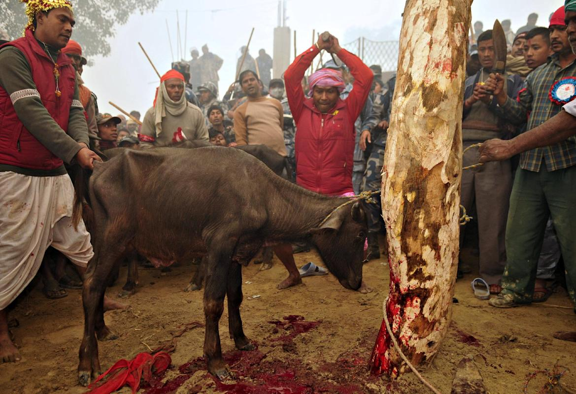 mass animal sacrifice in Bariyapur, Nepal