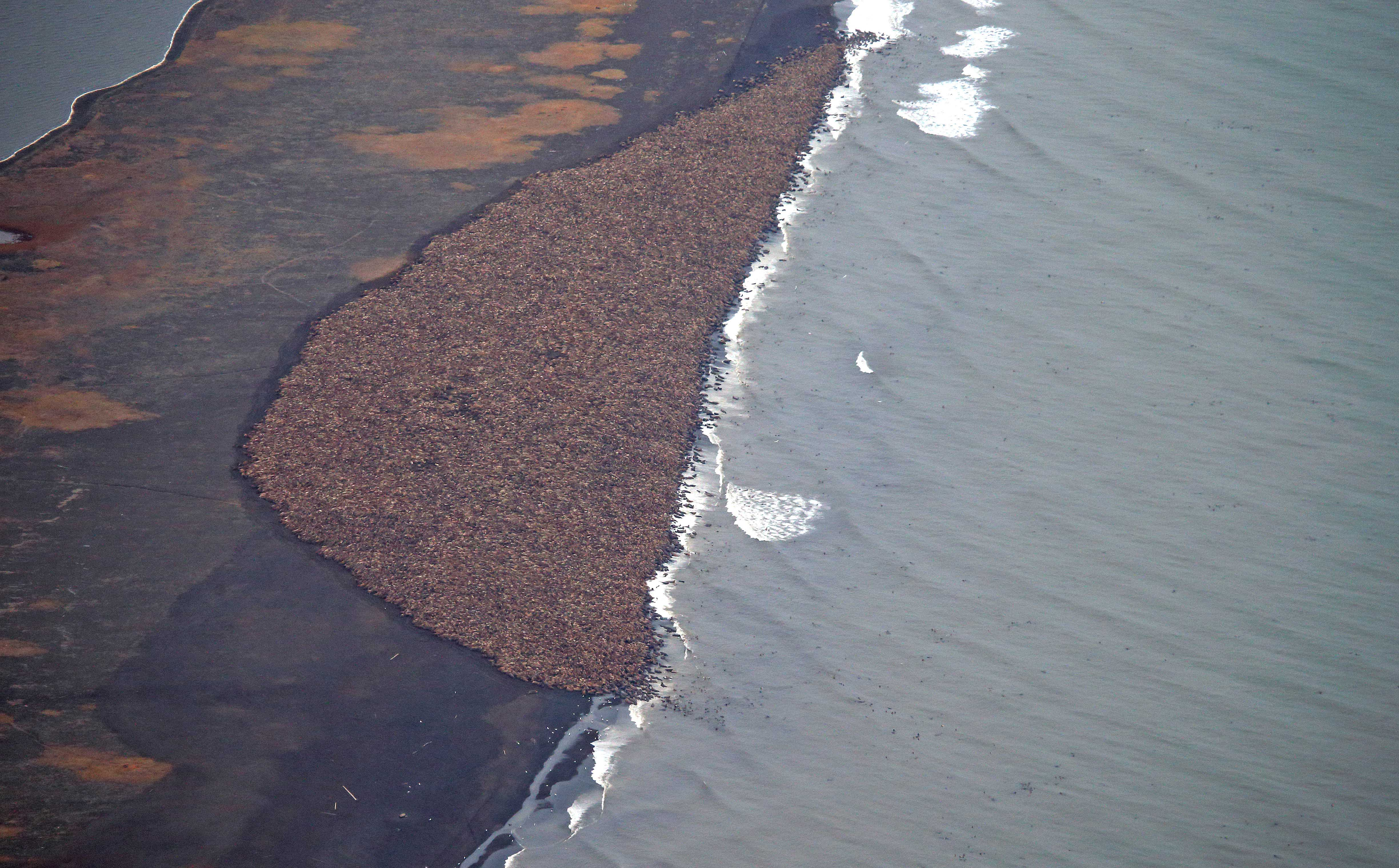 Thousands of walruses are all crowded together in one spot — and it signals something ominous