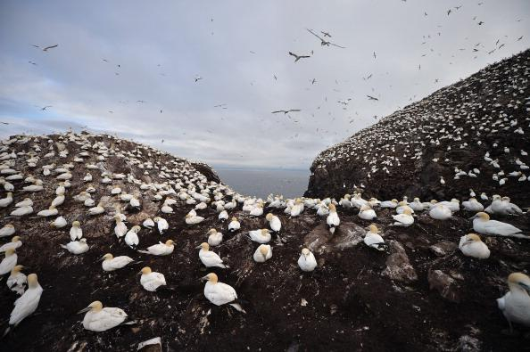 Gannets nest on Bass Rock in the Firth of Forth on June 18, 2012 in Dunbar, Scotland. Every January Atlantic gannets start returning to Bass Rock, with 150,000 or more making it the largest single rock gannet colony. They return with the same mate and often use the same nest each year, spending most of the year on the Rock they then leave at the end of October, when the last of the chicks travel down to the West Coast of Africa. (Photo by Jeff J Mitchell/Getty Images)