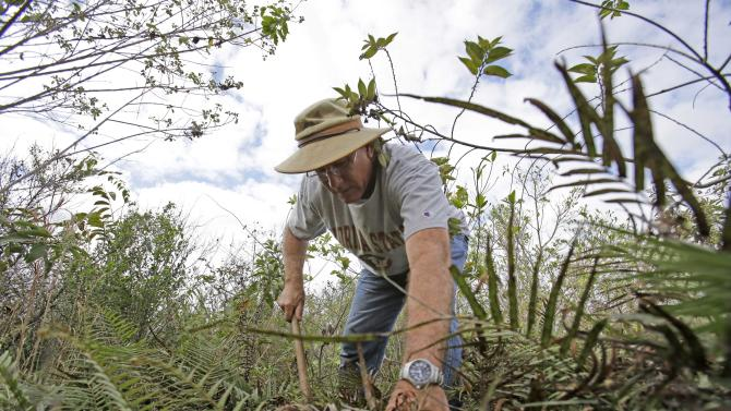 "In this Jan. 16, 2013 photo, Jim Howard of Cooper City, Fla., searches under the dense foliage in the Florida Everglades looking for pythons as part of the month long ""Python Challenge."" Wildlife officials say more than 1,000 people signed up for the competition that began Saturday and ends Feb. 10. The state hopes the hunters will help researchers collect more information about the pythons. The large snakes are an invasive species and are considered a menace to Florida's swamplands. (AP Photo/Wilfredo Lee)"