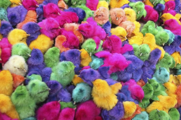 Colored chicks are sold during the run-up to Easter in downtown Amman