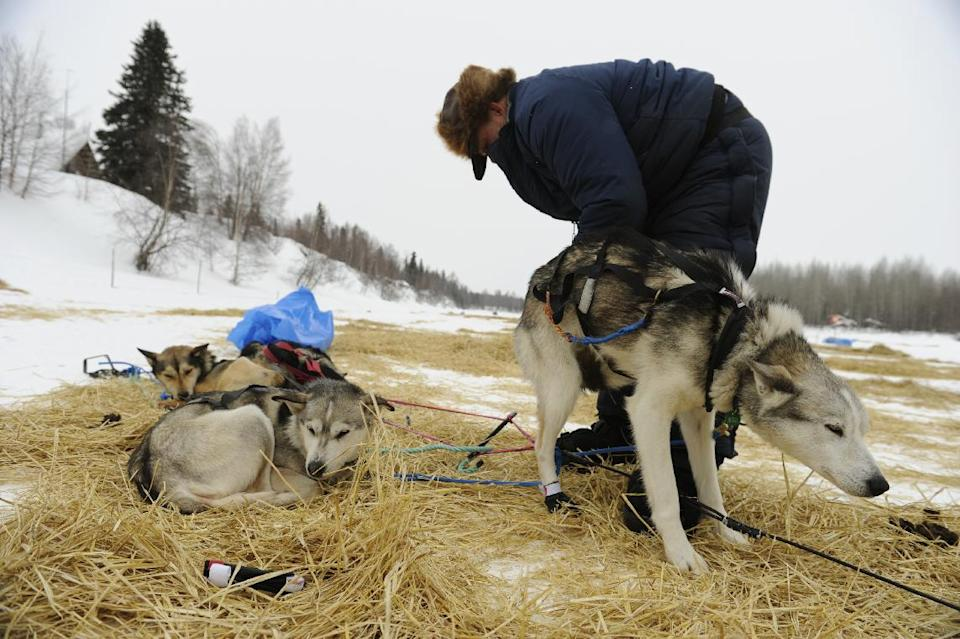 Iditarod musher Dan Seavey puts booties on his dog Misty as he prepares to leave the Skwentna, Alaska, checkpoint on Monday morning, March 5, 2012, during the Iditarod Trail Sled Dog Race. (AP Photo/Anchorage Daily News, Marc Lester)