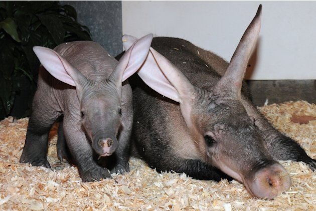 Baby Aardvark Born at Brookfield Zoo