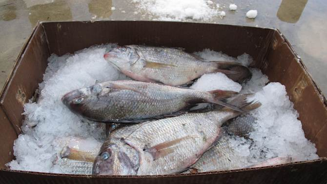 In this Nov. 20, 2012 photo, fish brought to the dock at the Viking Village fishery in Barnegat Light N.J., sit atop a box of ice. U.S. wholesale prices fell for the third month in a row last month, pushed down by falling food and gas costs. The drop is the latest evidence inflation is tame. The producer price index dropped 0.2 percent in December, the Labor Department said Tuesday. That follows a decline of 0.8 percent in November.(AP Photo/Wayne Parry)