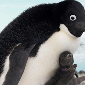World's Penguin Population Is Thriving