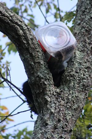 This undated photo provided by the New Jersey Department of Environmental Protection shows a bear cub that got its head stuck in an oversized cookie jar. The cub was rummaging through trash on Friday, June 27, 2014, when it got stuck. After the animal was tranquilized by a DEP biologist, it was brought down and local firefighters gingerly cut the jar off its head. (AP Photo/NJ Department of Environmental Protection)