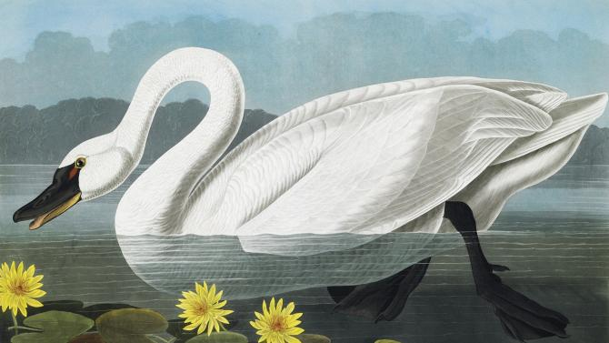 "This picture provided by Christie's showing a Common American Swan is from a rare first edition set of John James Audubon's ""The Birds of America."" Considered a masterpiece of ornithology art, the four-volume set contains more than 400 engraved hand-colored plates of all the North American species known to Audubon in the early 19th century. The volumes stand 3 ½-feet high because of Audubon's desire to depict the birds in their actual size and natural habitat. Christie's said the set is expected to sell for $7 million to $10 million at it's Jan. 20 auction. (AP Photo/Christie's)"