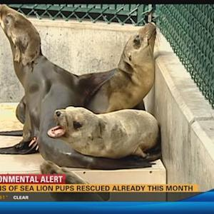 Dozens of sea lion pups rescued already this month