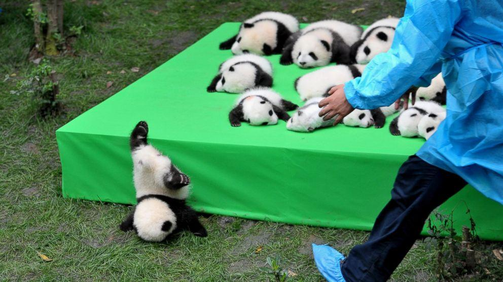 Silly Baby Panda Falls Flat on Its Face During Public Debut of 23 Giant Panda Cubs in China