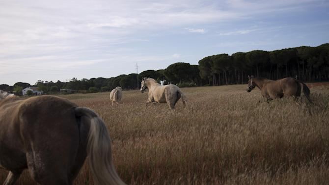 "In this photo taken on Tuesday, April. 2, 2013, ''Pura Raza Espanola'' or Pure Spanish Breed mares belonging to breeder Francisco Jose Rodriguez are seen at ""La Yeguada de Cuatro Vientos"" ranch in Almonte, in the southern Spanish region of Andalusia. Barring an unlikely reprieve, Mesa' purebreds will be turned into horse meat for export come July. They are victims of a wrenching economic downturn that has wiped out fortunes, turned housing developments into ghost towns and left more than a quarter of the population out of work. (AP Photo/Laura Leon)"