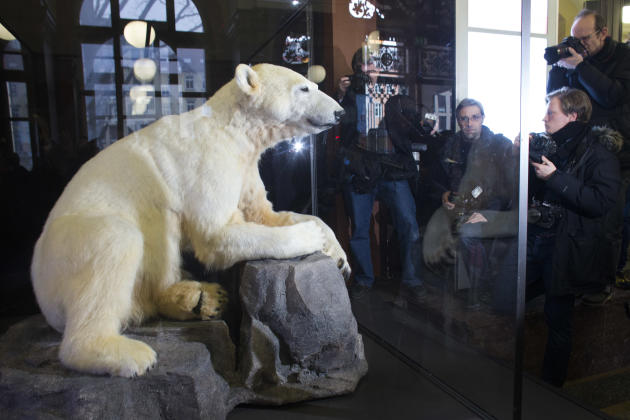 Late polar bear Knut is on display at the  Natural History Museum  in Berlin, Friday, Feb. 15, 2013. Adorable in life, still attracting admirers in death: Knut the polar bear's hide has been mounted o