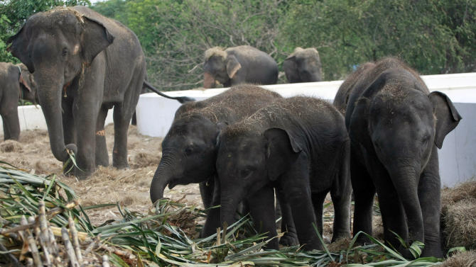 In this photo taken Monday, Oct. 31, 2011, elephants are fed with fresh sugarcanes at the elephant camp in Ayutthaya province, central Thailand. Seventeen out of ninety-two elephants were stranded at the elephant camps in Ayutthaya province following floods that submerged north and central part of the country for more than two months. (AP Photo/Apichart Weerawong)