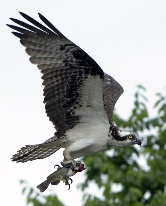 An osprey flies around its nest on Little Hunting Creek off the Potomac River near Mt. Vernon Virginia
