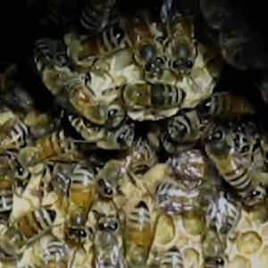 Woman Finds 40,000 Bees Under Her Queens House