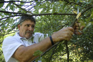 In this Aug. 7, 2012 photo, Randy Grebke of Kohnen Concrete Products, cuts a V shaped tree branch to locate underground water while on a well drilling site in Huey, Ill. Many well drillers still witch or divine for water, Gebke included. Some, like Gebke, use small wires, others have a preference for a particular kind of wood. Many find themselves busier than they have been in years as drought grips much of the country. (AP Photo/Seth Perlman)
