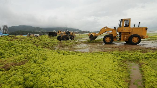 Algae Invasion Turns Yellow Sea Green