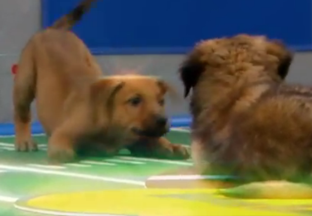 Puppy Bowl Rises as Super Bowl Declines; Puppies Plot World Takeover