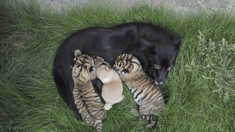 A femal dog feeds two-day-old tiger cubs and her puppy at a zoo in Hefei