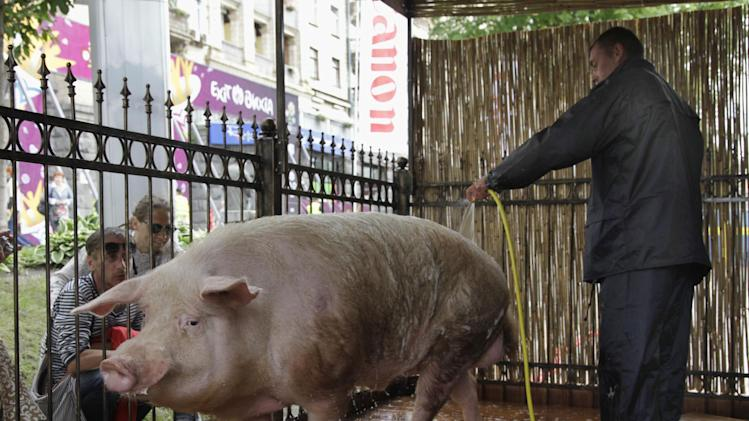"A man hoses a pig  which makes ""predictions"" for the Euro 2012 soccer championship in the Fan Zone , in Kiev, Ukraine, Thursday, June 7, 2012. The  pig will be making its first prediction on   June 8, 2012.  (AP Photo/Efrem Lukatsky)"