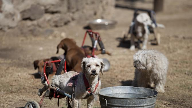 """A dog equipped with a dog wheelchair stands next to a metal pail at the """"Milagros Caninos,"""" sanctuary for abused and abandoned dogs, in Mexico City, Friday, Jan. 11, 2013. About 128 abused dogs are sheltered at the Milagros Caninos sanctuary. Dogs on wheelchairs, blind, deaf or ill frolic and run around the huge sanctuary in the southern part of Mexico City. (AP Photo/Eduardo Verdugo)"""
