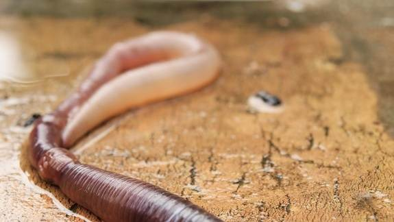 Worms Turn Metal Into Semiconductors