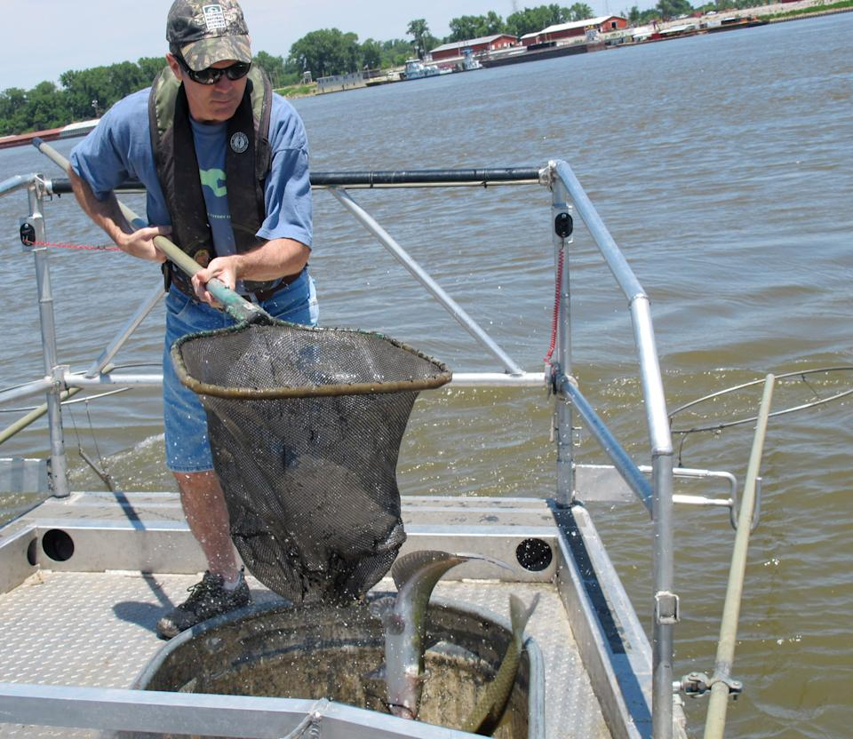 This June 13, 2012, photo shows  Eric Ratcliff, a biologist with the Illinois Natural History Survey, dropping a fish into a holding tank aboard a research vessel on the Mississippi River near East Alton, Ill. Scientists are monitoring native fish populations for signs of damage from Asian carp.  (AP Photo/John Flesher)