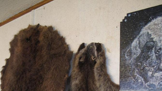 A beaver and racoon pelt hang on the wall in Airman Will Small's bedroom in Trenton, N.C., on Monday, March 18, 2013. Small died of rabies, and at least one person who received his donated organs perished from the same disease. (AP Photo/Allen Breed)