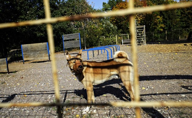 In this Thursday Sept. 20, 2012 photo, a muzzled dog, in a park, where dozens of dogs were killed in a mass poisoning of dogs in a Moscow park. On Friday, Sept. 21, 2012, police opened a criminal probe into the suspected poisoning of animals by dog killers, the latest such incident in Russia where cruelty to animals is common and animal protection laws are rarely enforced. This well-heeled neighborhood has always cherished its enormous park, where they could give their dog a moment's respite from cramped city living and let them frolic without a leash in the grass or in the snow. (AP Photo/Sergey Ponomarev)